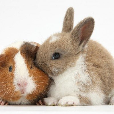 Rabbit And Guniea Pig